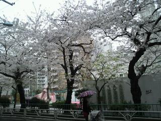 会社近くの桜
